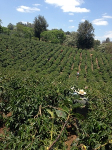 Kaffe_odling_Tanzania