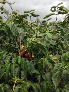 Kaffe_träd_Tanzania